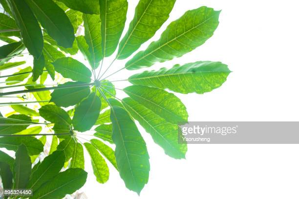 fresh and green leaves - photosynthesis stock photos and pictures