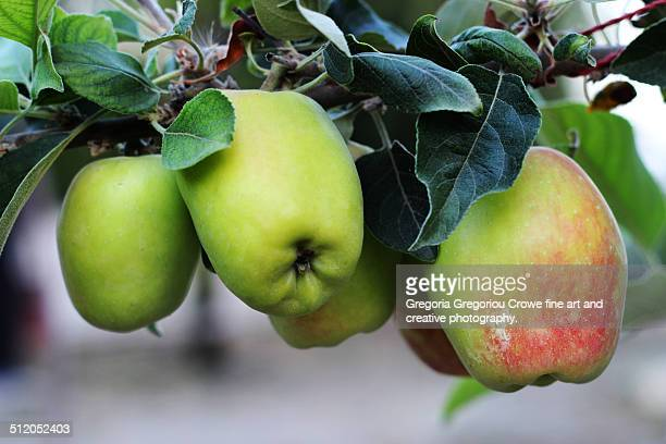 fresh apples - gregoria gregoriou crowe fine art and creative photography. stock pictures, royalty-free photos & images
