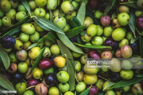 fresh arbequina olives close up - spanish olive fotografías e imágenes de stock