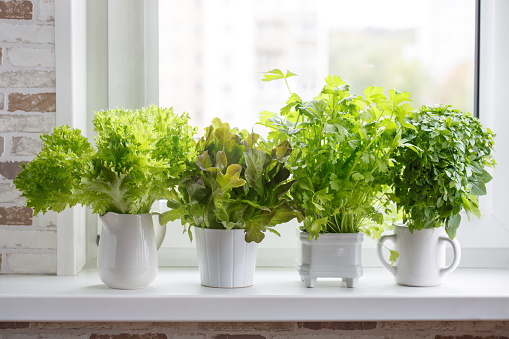 Fresh aromatic culinary herbs in white pots on windowsill. Lettuce, leaf celery and small leaved basil. Kitchen garden of herbs. 1064116816