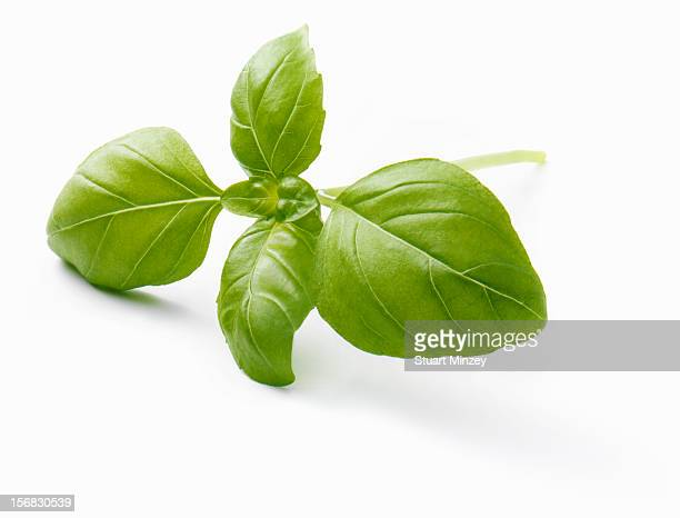 Fresh basil on a white background