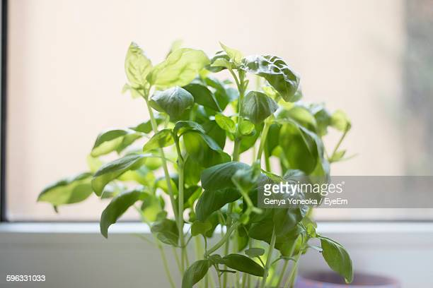 Fresh Basil Plant At Home Against Window