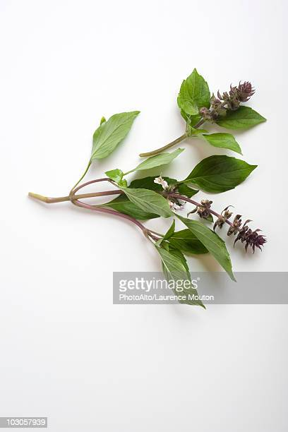 fresh basil sprigs - botany stock pictures, royalty-free photos & images