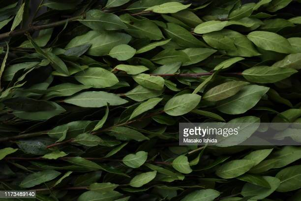 fresh bay laurel (laurus nobilis )leaves with water drops on branches ,full frame - botany stock pictures, royalty-free photos & images