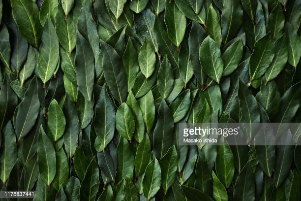 fresh bay laurel (laurus nobilis )leaves,full frame - spice stock pictures, royalty-free photos & images