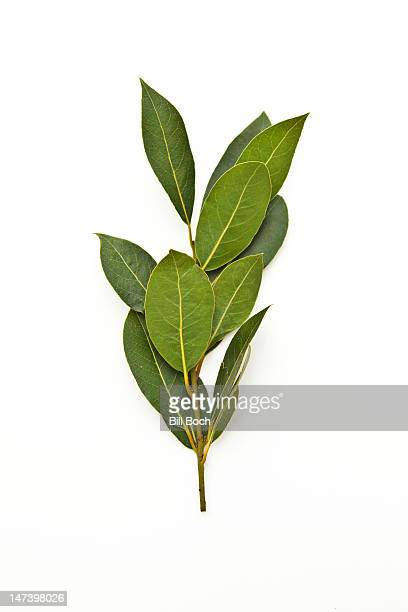Fresh bay leaves on the tree branch