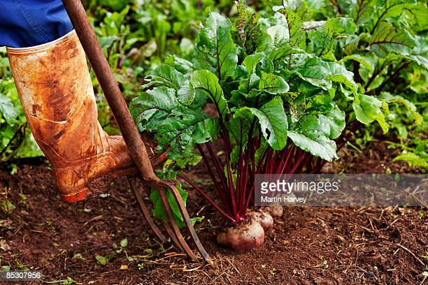 fresh beetroot being farmed - gauteng province stock pictures, royalty-free photos & images