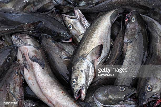 Fresh Black Cod in Shipping Container