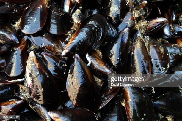 Fresh black mussels on sale for 3 Euro/kg at La Pescheria the local fish market on September 26 2017 in Catania on the Italian island of Sicily With...