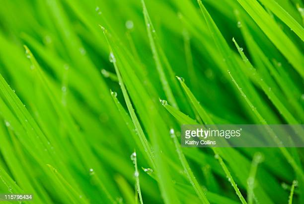 fresh blades of grass with small drops of dew - kathy shower stock pictures, royalty-free photos & images