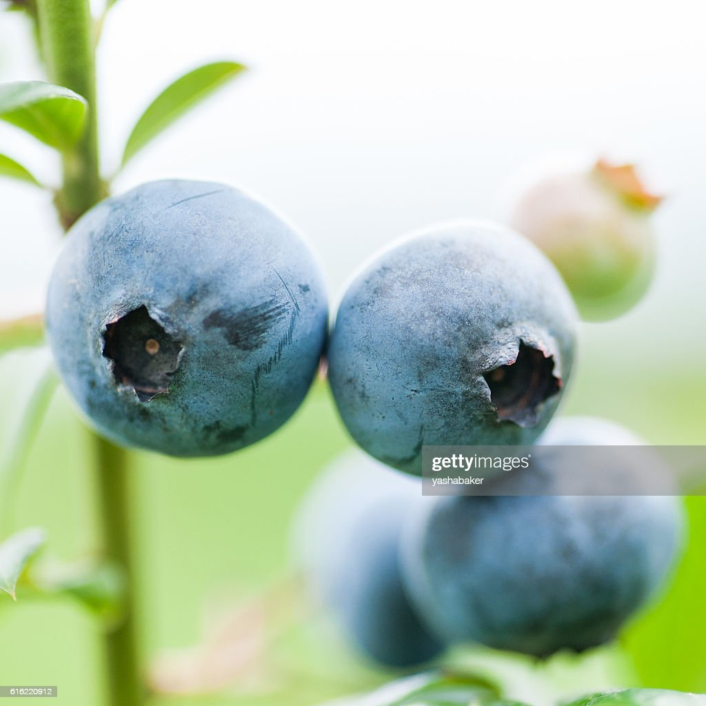 Fresh blueberries in nature outdoors : Bildbanksbilder