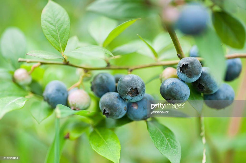 Fresh blueberries in nature outdoors : Stock Photo