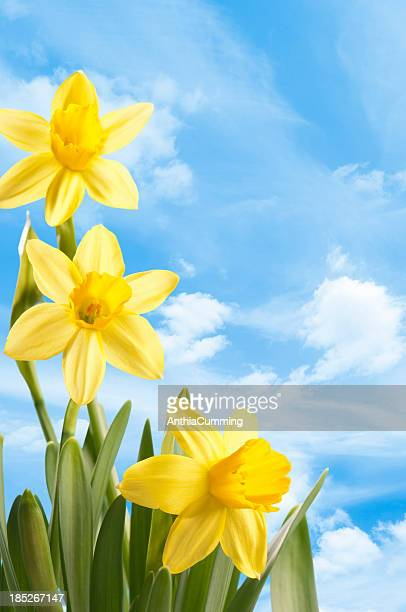 fresh bright yellow spring daffodils against a blue sky - daffodils stock photos and pictures