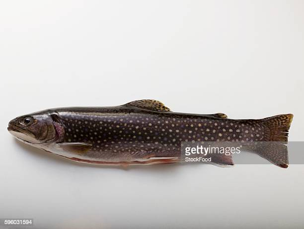 fresh brook charr - speckled trout stock photos and pictures
