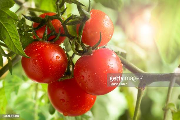 fresh  bunch garden tomatoe on the vine in the sun - tomato stock pictures, royalty-free photos & images