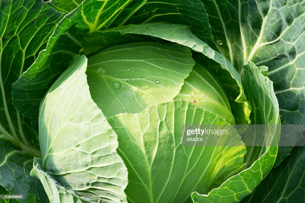 fresh cabbage in the vegetable garden : Stock Photo
