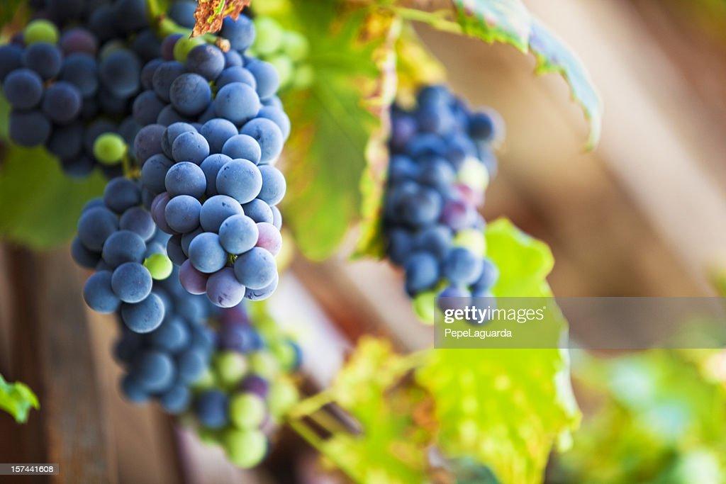 Fresh Cabernet Sauvignon grapes : Stock Photo