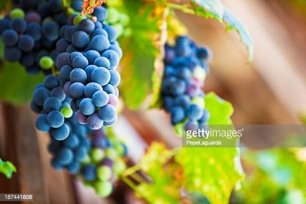 fresh cabernet sauvignon grapes - cabernet sauvignon grape stock photos and pictures