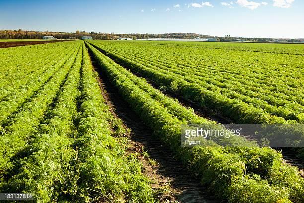 Fresh carrots planted on a farm field