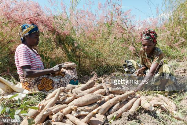 Fresh cassava is peeled immediately after being dug from the ground
