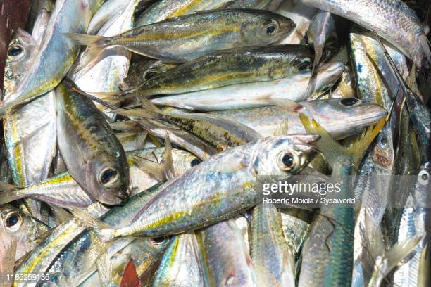 fresh catch of fish, caribbean, central america - catch of fish stock pictures, royalty-free photos & images