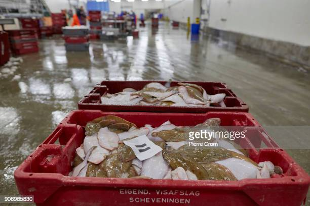 Fresh caught fish is sorted in the port of Scheveningen on January 19 2018 in The Hague Netherlands A large majority of members of the European...