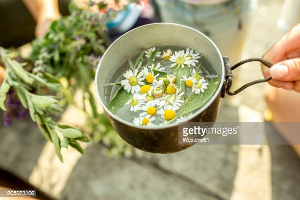 fresh chamomile in pot with water for an infusion - chamomile tea stock pictures, royalty-free photos & images