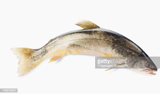 a fresh char against a white background - speckled trout stock photos and pictures