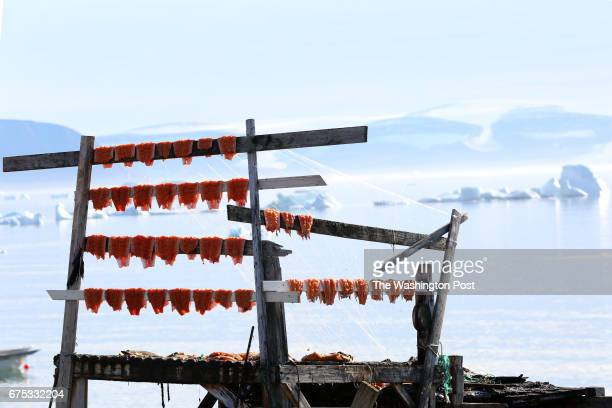 Fresh char hangs on racks by the shore in the tiny village of Qaanaaq Greenland on August 26 2016 by Whitney Shefte/The Washington Post via Getty...