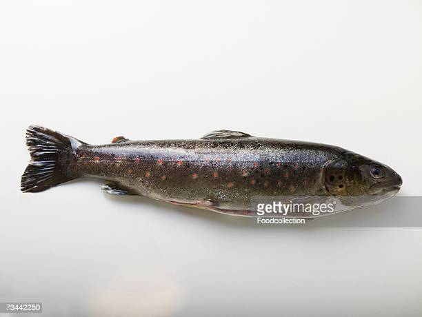 fresh charr - speckled trout stock photos and pictures