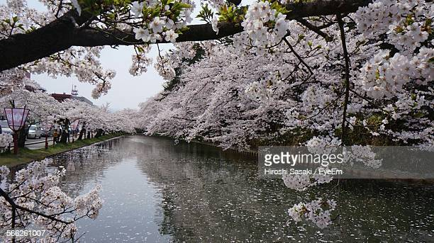 Fresh Cherry Blossom Blooming Over Canal In Hirosaki Park