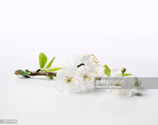 fresh cherry blossom sprig - xxxl - twig stock pictures, royalty-free photos & images