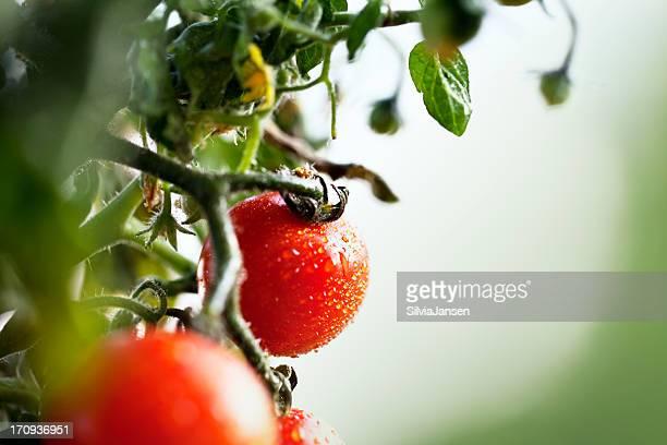 fresh cherry tomatos at plant