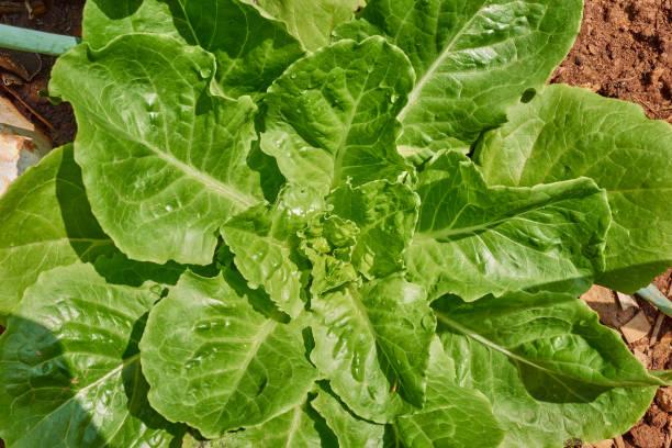 Fresh chinese cabbage in garden