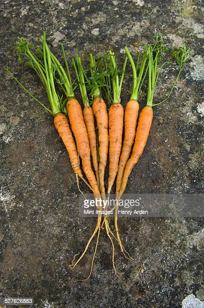 Fresh clean carrots with green leafy tops, laid out in a display.