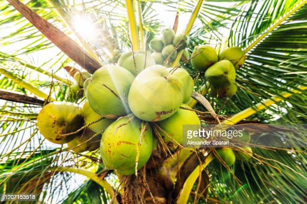 fresh coconuts hanging on a palm tree - coconut palm tree stock pictures, royalty-free photos & images