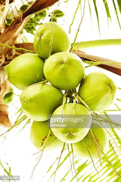 新鮮なココナッツに飾るパームトリー - ココヤシの木 ストックフォトと画像