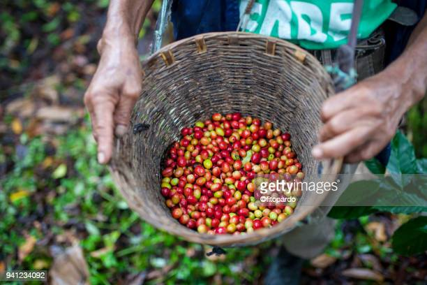 fresh coffee fruits in a bucket - chiapas stock pictures, royalty-free photos & images