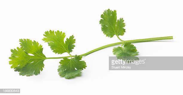 Fresh coriander on a white background
