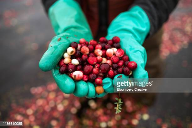 fresh cranberries before harvest - cranberry harvest stock pictures, royalty-free photos & images