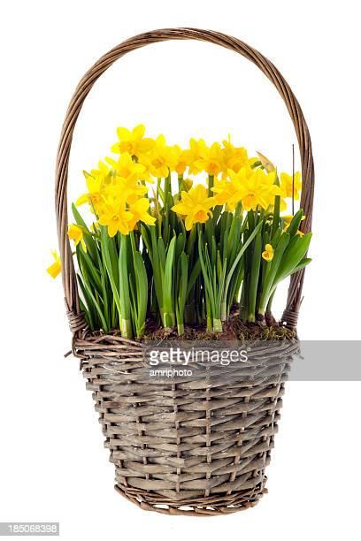 fresh daffs in basket on white - daffodils stock photos and pictures