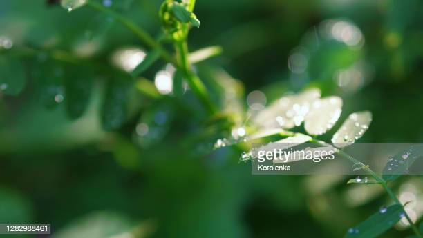 fresh dew drops on green acacia leaves in forest, close-up, copy space. freshness, purity of nature concept. fresh bubble drops on plants after rain - ornamental plant stock pictures, royalty-free photos & images
