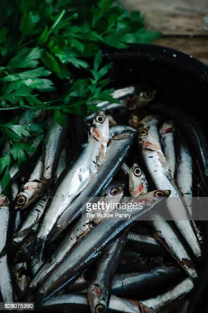 Fresh European anchovy