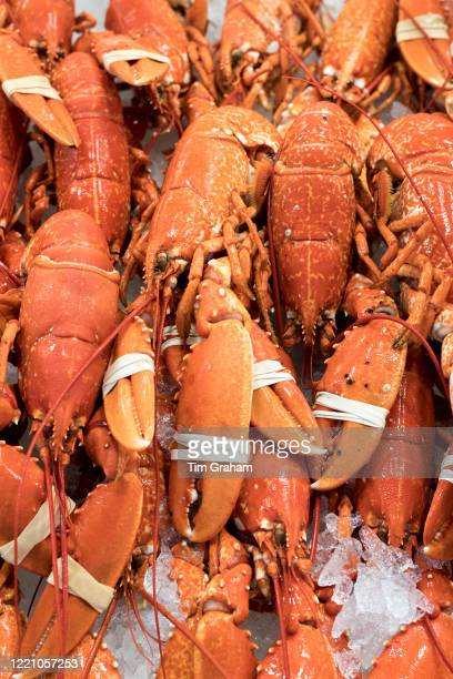Fresh European Lobsters, Homarus gammarus, with claws clamped by elastic band on sale at St Helier Fish Market in Jersey, Channel Isles.