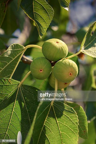 Fresh Figs on Tree, Island Hvar, Croatia, Europe