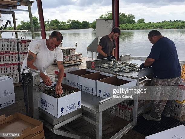 Fresh Fish being sorted and boxed for shipping