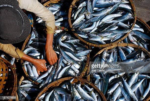 Du poisson frais est classé au marché de Hoi An et du Vietnam