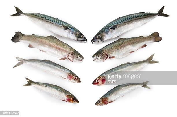Fresh fish, Mackerel,Trout,Herring and Sardine on white background