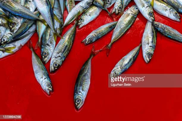 fresh fishes on the red counter. - trachurus stock pictures, royalty-free photos & images