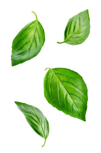 Fresh Flying Basil leaves 1004476326